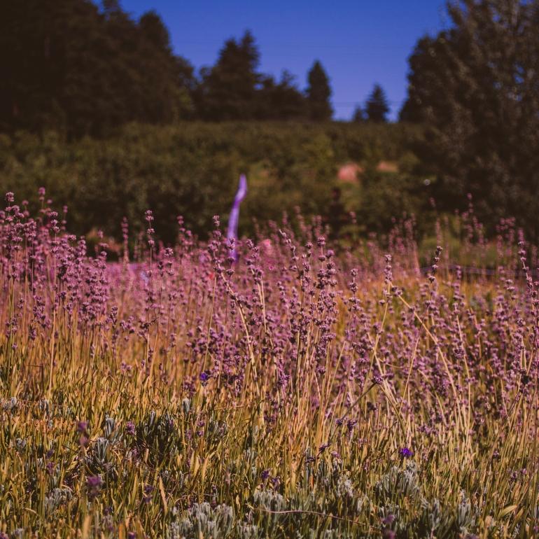 Hood River Lavender Farm in Hood RIver, Oregon